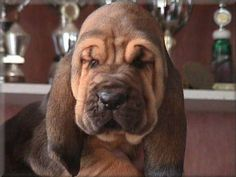 I just laughed out loud at this bloodhound pup :) Cute Puppies, Cute Dogs, Dogs And Puppies, Doggies, Awesome Dogs, Farm With Animals, Cute Animals, Bloodhound Puppies, Droopy Eyes