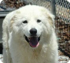 5/21/14 Sussex, NJ - Great Pyrenees Mix. Meet BREENA-FOSTER NEEDED a Dog for Adoption.
