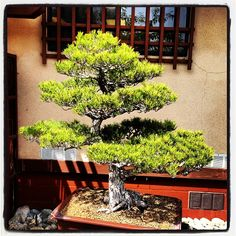 Bonsai Tree