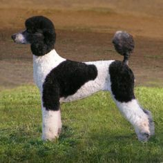 """Visit our internet site for more relevant information on """"french poodle puppies"""". It is actually an excellent spot to find out more. Pet Dogs, Dogs And Puppies, Dog Cat, Poodle Puppies, Black Standard Poodle, Standard Poodles, Poodle Haircut, Poodle Cuts, French Poodles"""