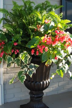 Kimberly fern, dragon wing begonias, and Algerian ivy