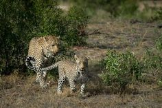 Anderson male leopard and Nanga female during mating