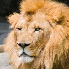 African Lions at Woodland Park Zoo Seattle, WA #Kids #Events