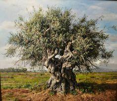 ELIDON * olive tree * Greece