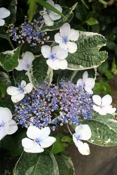 Hydrangea, white and blue?