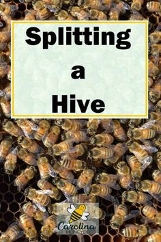 How to split a beehive? This method allows you to create 2 small colonies from 1 large bee colony. How To Start Beekeeping, Beekeeping For Beginners, Harvesting Honey, Rainwater Harvesting, Honey Bee Farming, Bee Facts, Bee Hive Plans, How To Split, Raising Bees
