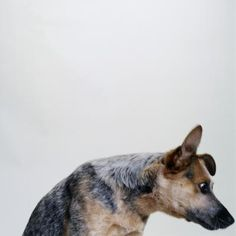 If you have an Australian cattle dog, you know he is determined to see that both of you get plenty of exercise. Herding is an Australian cattle dog's nature, so he wants physical and mental activities. Otherwise, he won't be a happy camper.