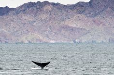 Blue whale fluke in Baja California. Photo ©Flip Nicklin