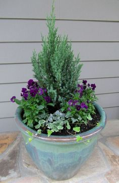 Our winter container garden from last year with a small evergreen, surrounded by winter pansies and trailing ivy.