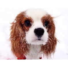cavalier Oliver in snow