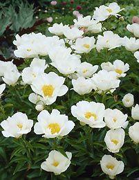 "paeonia lactiflora ""White Wings"""