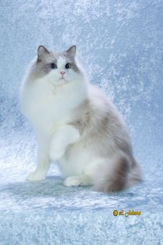ragdoll cat lilac point                                                       …