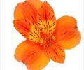 http://www.sierraflowerfinder.com/en/f/alstromeria/1?page=3