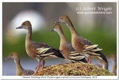 00367_Plumed_Whistling_Duck_Dendrocygna_eytoni_20130507_Deniliquin_02.jpg (1841×1250)
