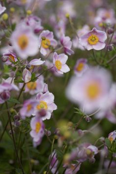 Windflower • Anemone hupehensis • Anemone • Plants & Flowers • 99Roots.com