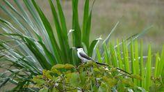 Una cola elegante que llamamos tijereta. Aves de Venezuela en los llanos de Apure.