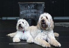 Home - Camden Valley Groodles and Labradoodles Two Dogs, Camden, Rescue Dogs, Labradoodles, Annie, Shelter Dogs