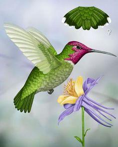 Anna's Hummingbird - Whatbird.com