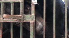 Save the Saddest Bears: END BEAR FARMING IN VIETNAM!