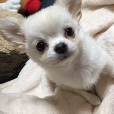 Super Cute Puppies, Cute Dogs, Baby Dogs, Doggies, Baby Animals, Cute Animals, Chiwawa, Teacup Puppies, Chihuahua Puppies