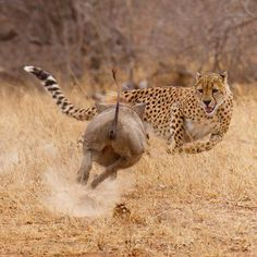 A fearless warthog turns the tables on a cheetah who wanted it for dinner, at the Tshukudu Private Game Reserve in South Africa. As the big cat sprinted towards its prey, the warthog performed a u-turn and charged towards the baffled cheetah who quickly bolted in the opposite direction. The cheetah was left embarrassed and hungry and loped off with its tail between its legs in search of an easier meal.