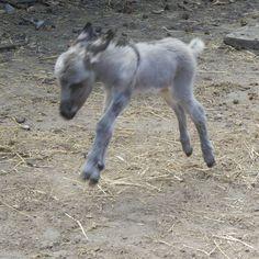 Courtesy: RoverStar Eselfarm, Scheeßel (Deutschland). Minature Donkey, Mini Donkey, Baby Pony, Farm Animals, Funny Animals, Cute Animals, Laughing Animals, Mini Farm, Horses And Dogs