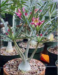 Адениум криспум (Adenium crispum)