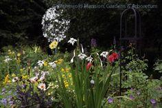 Gladiolus murielae in the North Garden