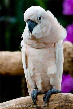 Albino Parrot
