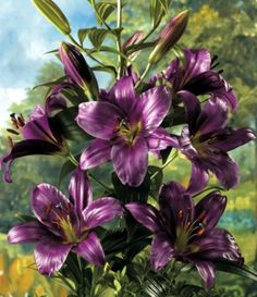 O.T. Hybrid Purple Prince Lily 2 Bulbs- 14/16 cm - NEW! - Rare Color - $5.99