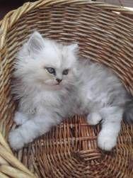 Cute Chinchilla Persian Kitty