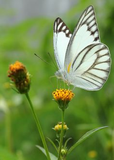 Butterfly Pictures, Butterfly Frame, White Butterfly, Beautiful Butterflies, Beautiful Birds, Beautiful Things, Micro Photography, Flying Flowers, Spirit Animal