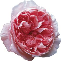 I love garden roses from ecuador