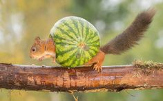A mischievous squirrel plays around with a watermelon as he tries to pass it off as a snail's shell in Bispgarden, Sweden