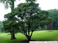 Fringe tree after done blooming--possible for front yard to replace oak--