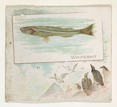 Whitebait, from Fish from American Waters series (N39) for Allen & Ginter Cigarettes
