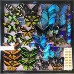 Butterfly Collection Ornithoptera priamus paradisea victoriae goliath morpho  | eBay Lots Of Money, Butterfly Wings, Halloween, Collections, Ebay, Design, Art, Art Background, Kunst