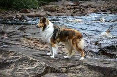 A beautiful old-fashioned Collie. Scotch Collie, Livestock, Corgi, Animals, Beautiful, Animales, Animaux, Corgis, Animal