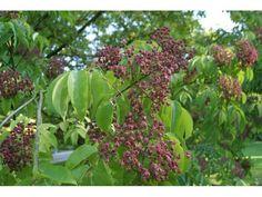 Arbre à miel, 20/25 cm P9 - Tetradium daniellii : acheter en ligne sur Jardins Du Monde. Pépinière, jardinerie en ligne. Livraison partout en Europe