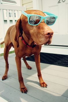 vizsla. for some reason i think i did that to Buddy at one point with those exact same glasses...