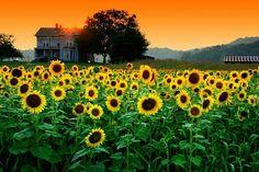 Kentucky Sunflowers