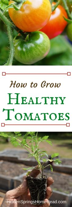 Grow Organic Tomatoes How to Grow Healthy Tomatoes - Want healthy tomato plants? This article gives a list of organic additives to add to soil with planting so your plants will grow strong and healthy. Tips For Growing Tomatoes, Growing Tomato Plants, Growing Tomatoes In Containers, Growing Vegetables, Planting Vegetables, Veggies, Home Vegetable Garden, Tomato Garden, Garden Tomatoes