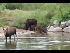 Moose Sighting - Bear River State Park - Video I got of them!