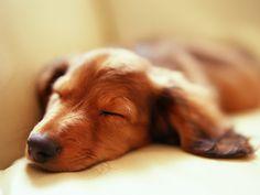Sweet Doxie Dreams.