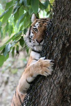 Tiger Gaze by BookOfThel