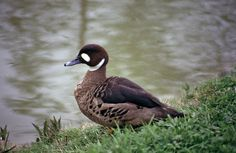 Duck bird | Spectacled Duck (Anas specularis) A bird at the water's edge.