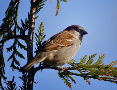 The House Sparrow (or is it a Hedge Sparrow). Perhaps someone could confirm?