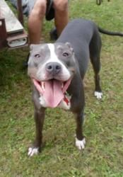Jada is an adoptable Pit Bull Terrier Dog in Cokato, MN. Jada is an active girl looking for an active home. She loves to run and play. She loves the water and will happily spend all day laying in the ...