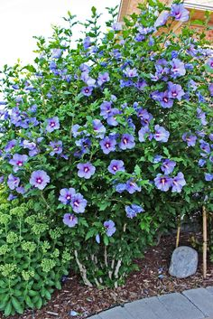 Blue Satin Rose of Sharon in peak bloom 2017 Purple Roses, Blue Flowers, Rose Of Sharon Tree, Front Garden Entrance, Specimen Trees, Satin Roses, Back Gardens, Summer Garden, Flower Beds