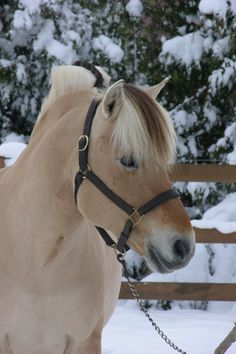 The Norwegian Fjord is considered one of the oldest pure breeds of horse. While they bear a striking resemblance to the Asiatic wild horse or Przewalski horse, they are in fact more closely related to the European wild horse, the Tarpan.